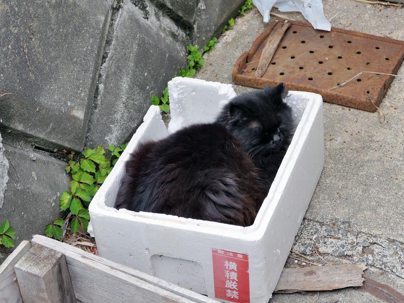 トロ箱で寝ている黒猫
