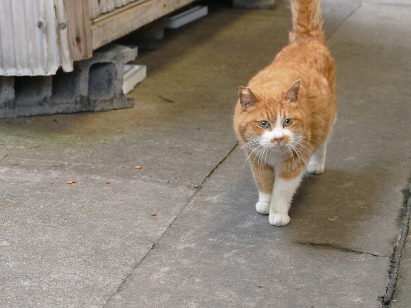 漁港の茶白猫4