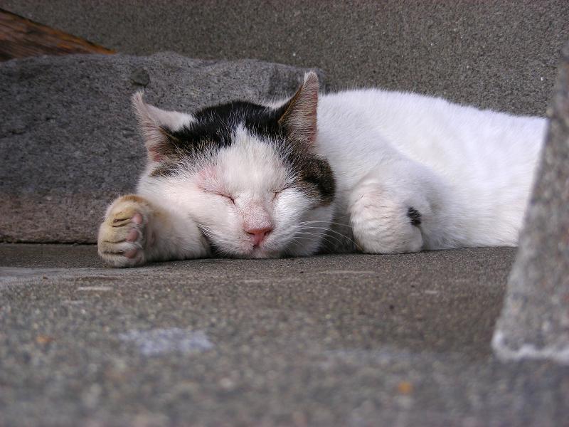 寝てる白キジ猫