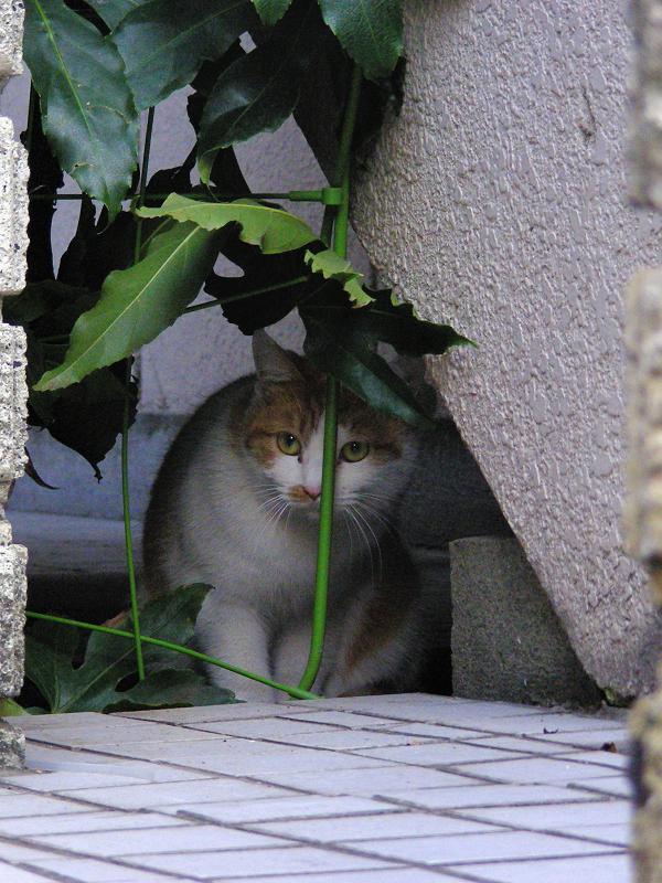隙間から覗いてる茶白猫1