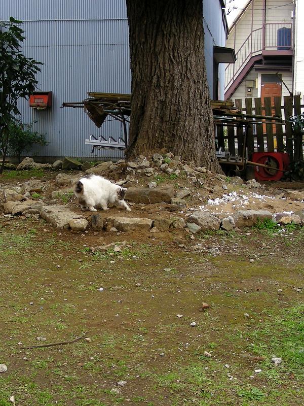 大木の下で何かを隠してた毛長の猫1