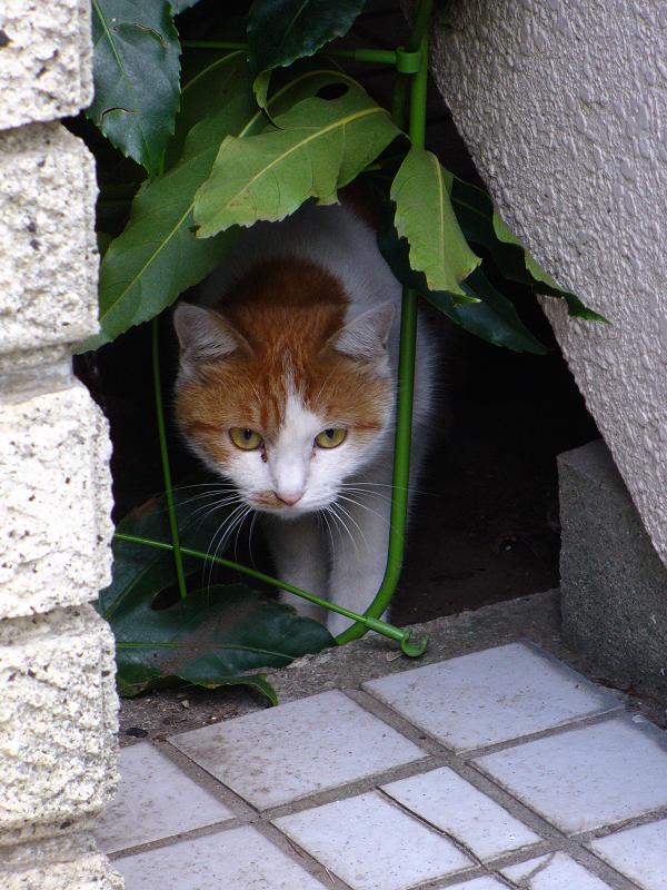 隙間から覗いてる茶白猫2