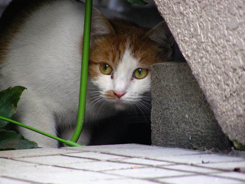 隙間から覗いてる茶白猫3