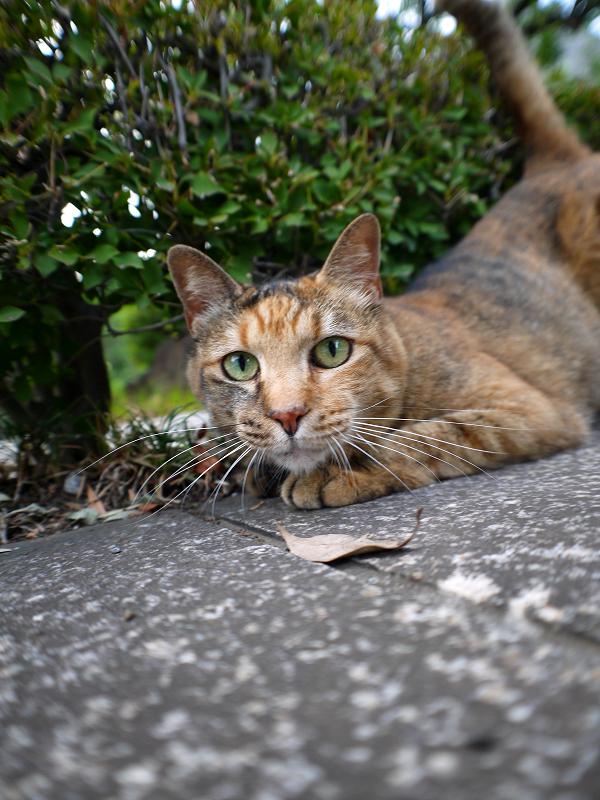 茂みとサビ柄猫1