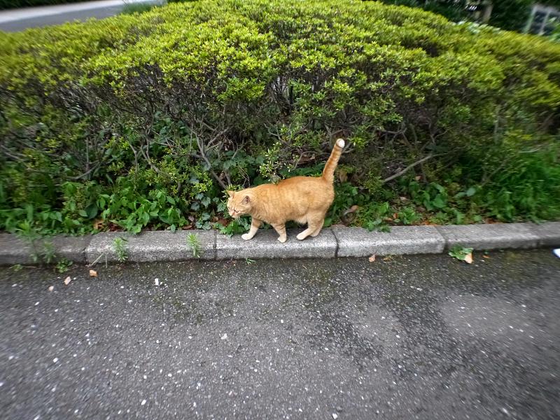 縁石の上を歩くでっかい茶トラ猫1