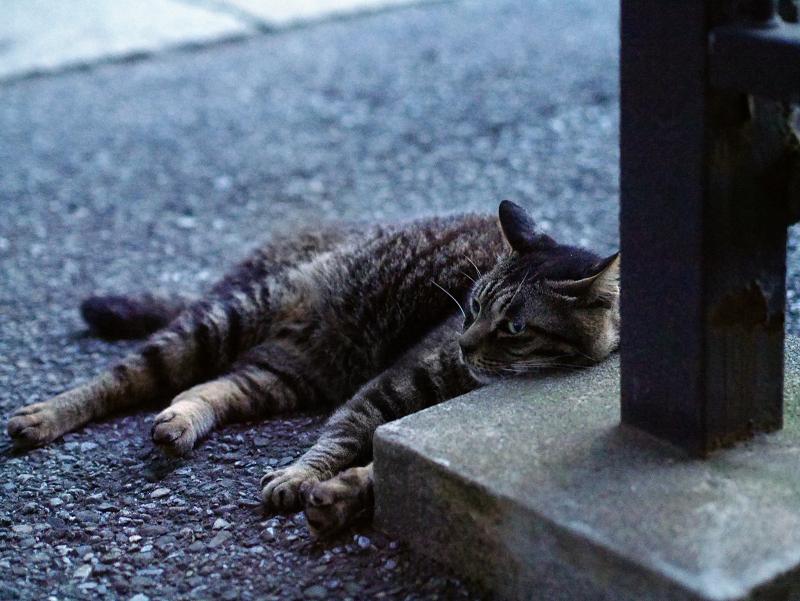 寝てるキジトラ猫