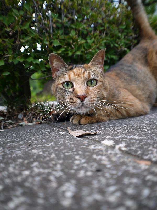 茂みとサビ柄猫2