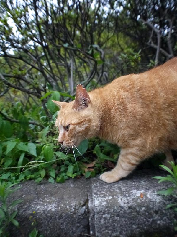 縁石の上を歩くでっかい茶トラ猫2