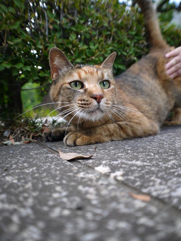 茂みとサビ柄猫3