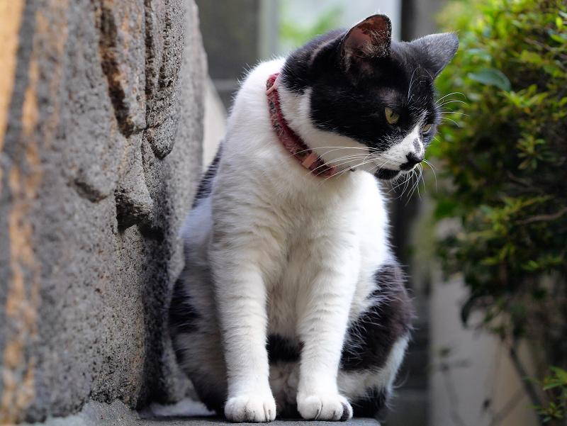 凝視している白黒猫1