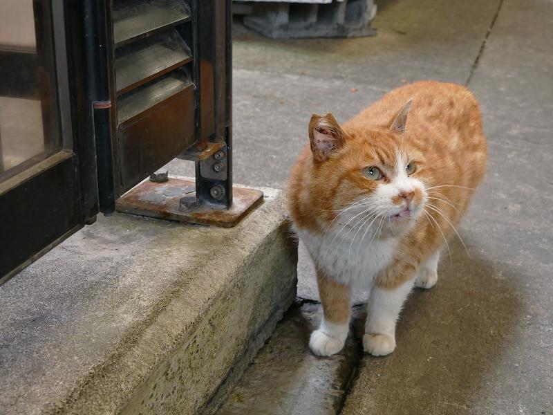 見上げて考えている茶白猫1