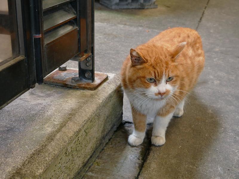 見上げて考えている茶白猫3