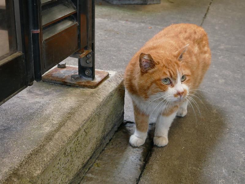 見上げて考えている茶白猫4