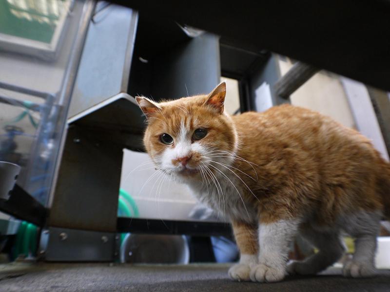 隙間から覗く茶白猫