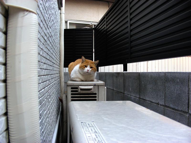 室外機と茶白猫1