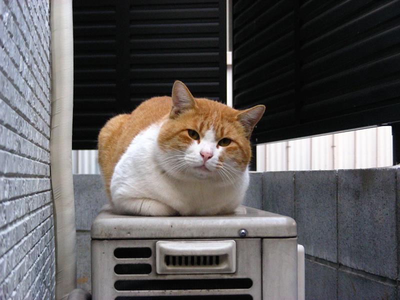 室外機と茶白猫2