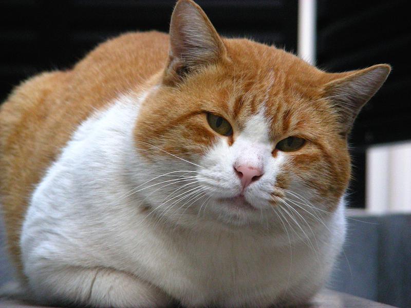 室外機と茶白猫3