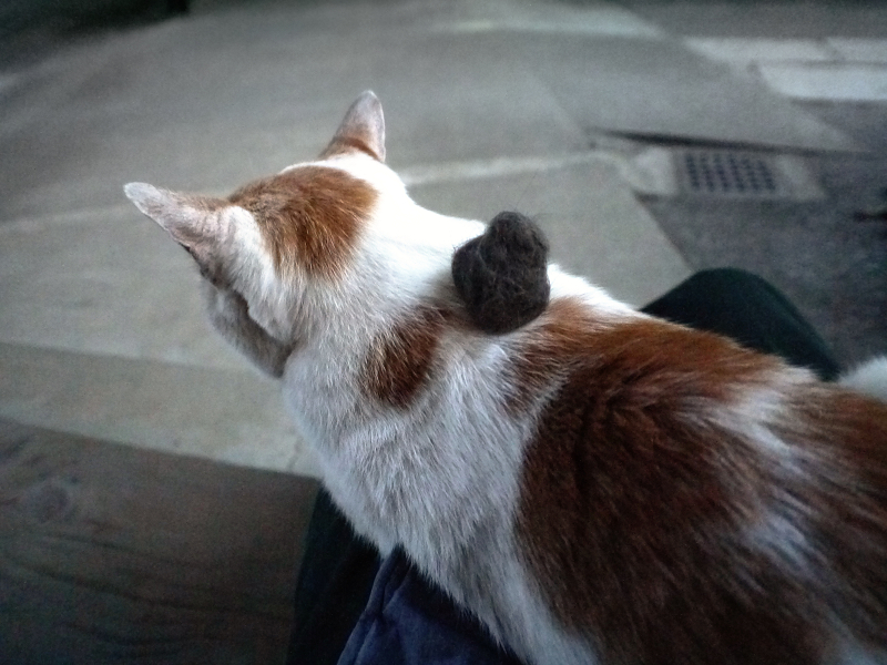 背中に抜け毛玉を乗せられた茶白猫