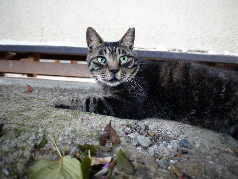 城壁とキジ猫1