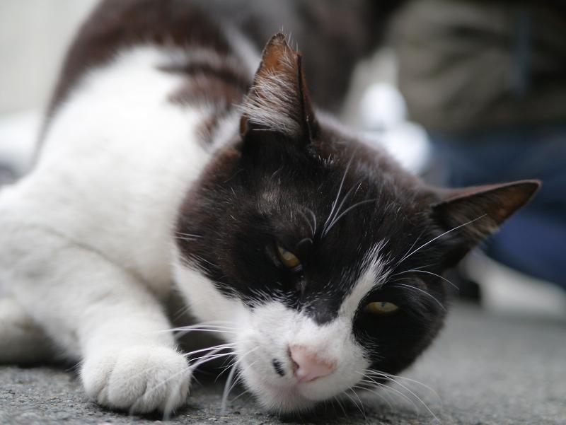 アスファルトと黒白猫2