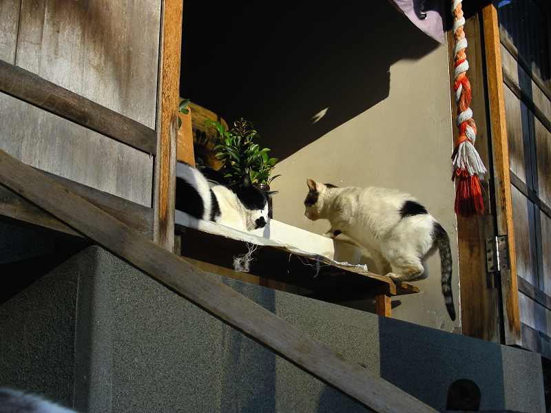 祠の黒白猫と白キジ猫1