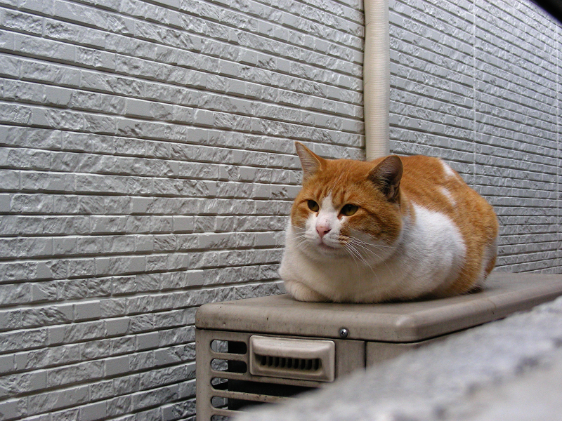 横縞壁と茶白猫1