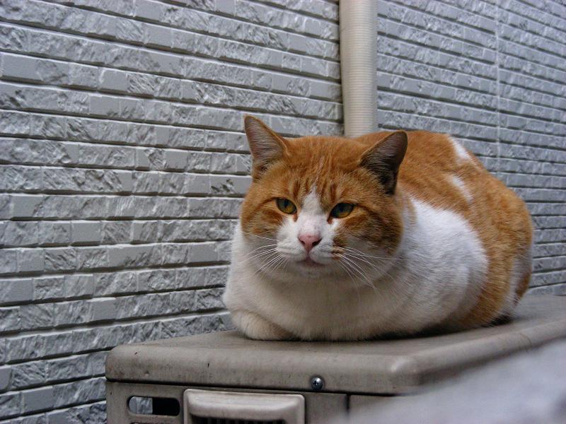 横縞壁と茶白猫2