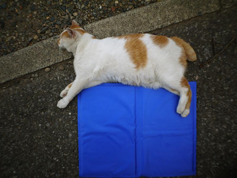 冷感シートと茶白猫1