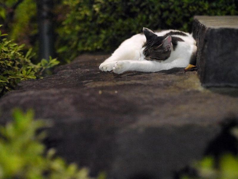 岩場で寝ている白キジ猫