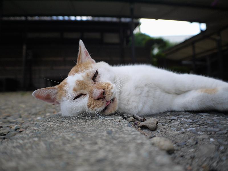 冷感シートと茶白猫3