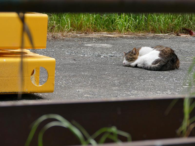 資材置き場で寝ているキジ白猫1
