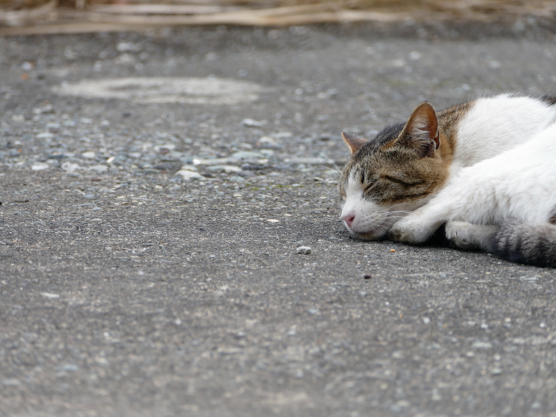 資材置き場で寝ているキジ白猫2