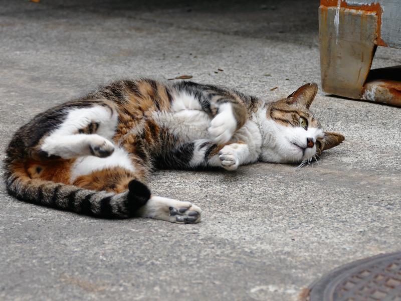 冷感シートと茶白猫2