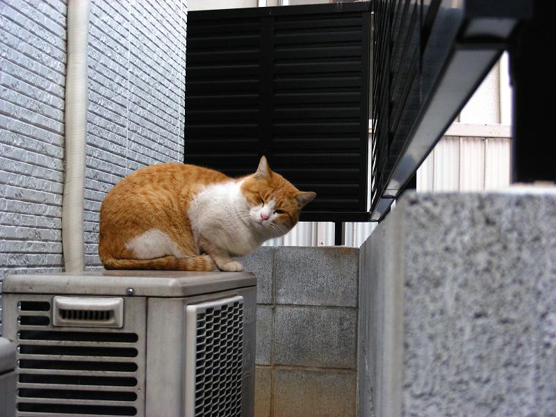目隠しフェンスと茶白猫1