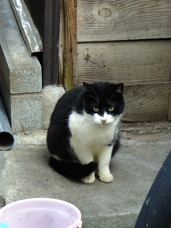木壁前の黒白猫