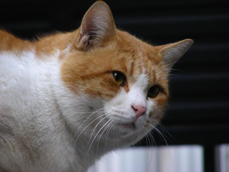 目隠しフェンスと茶白猫3