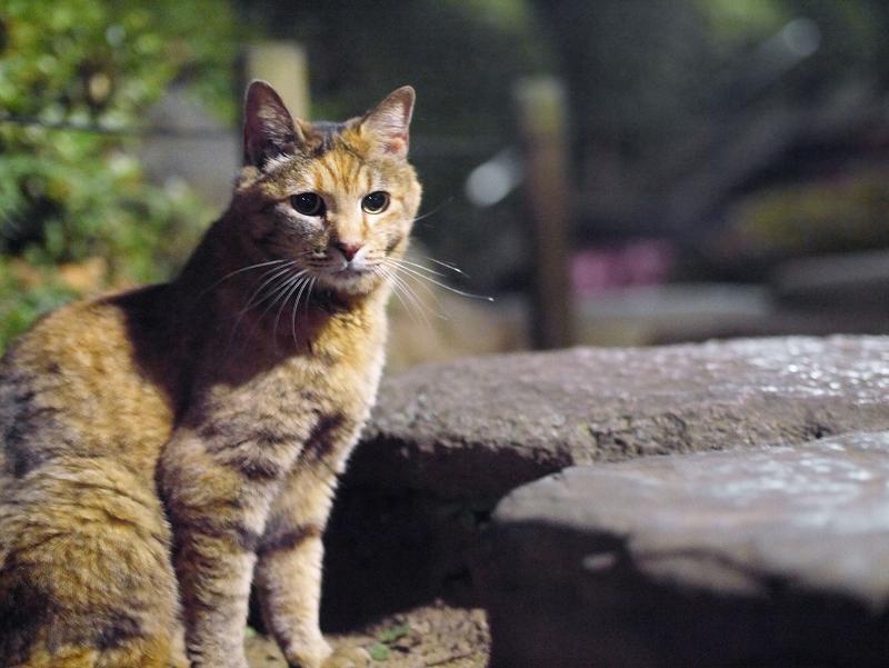 夜の庭園のサビ柄猫