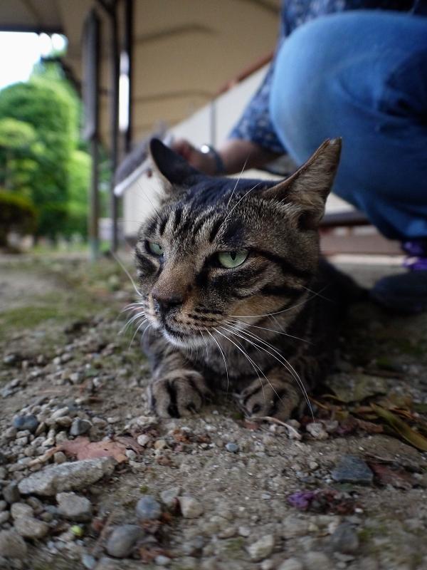 境内とキジ猫2
