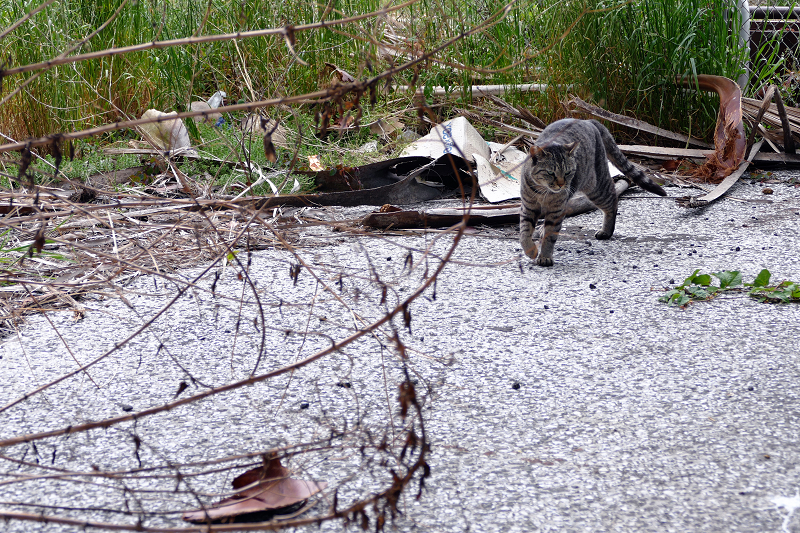 茂みから出てきたキジトラ猫1