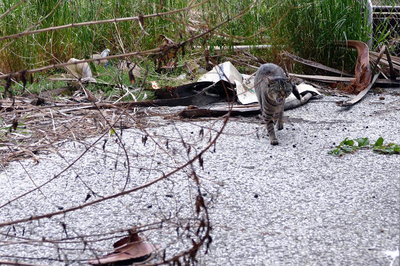茂みから出てきたキジトラ猫2