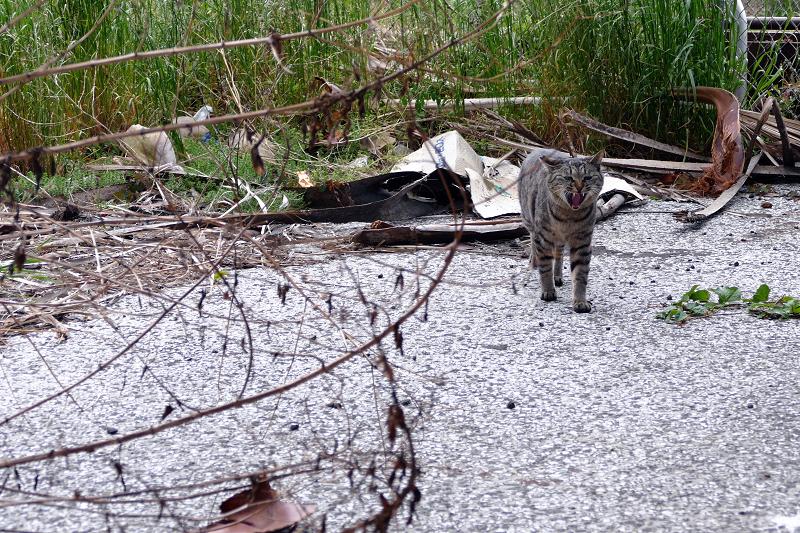 茂みから出てきたキジトラ猫3