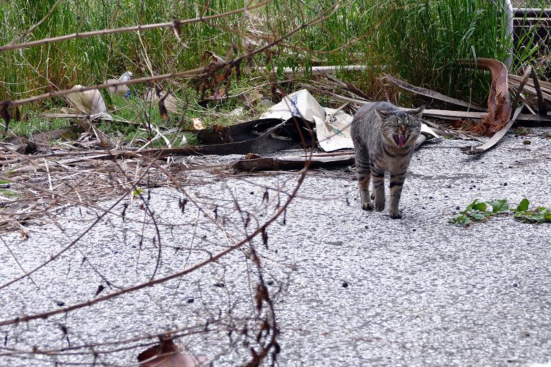 茂みから出てきたキジトラ猫4