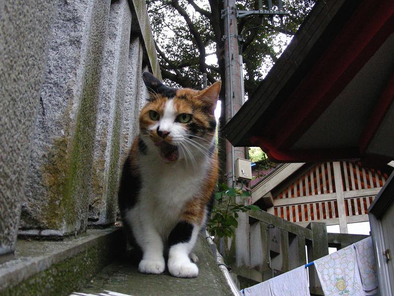玉垣の三毛猫