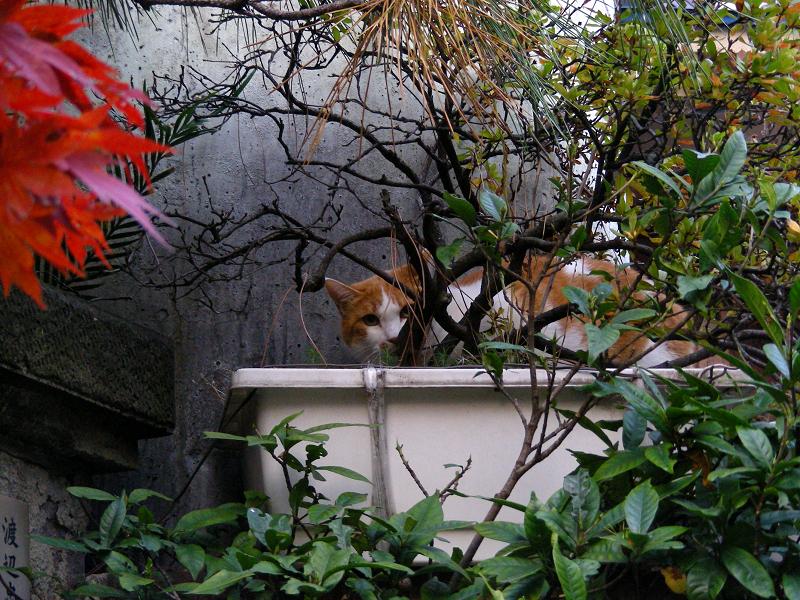 プランターと茶白猫1