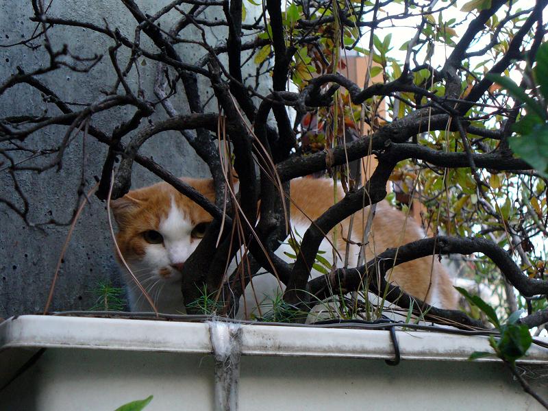プランターと茶白猫2