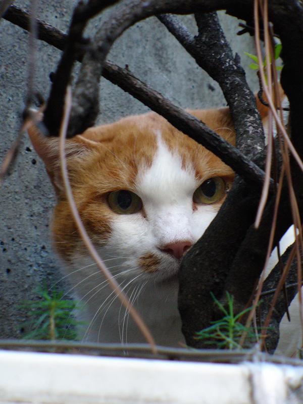 プランターと茶白猫3