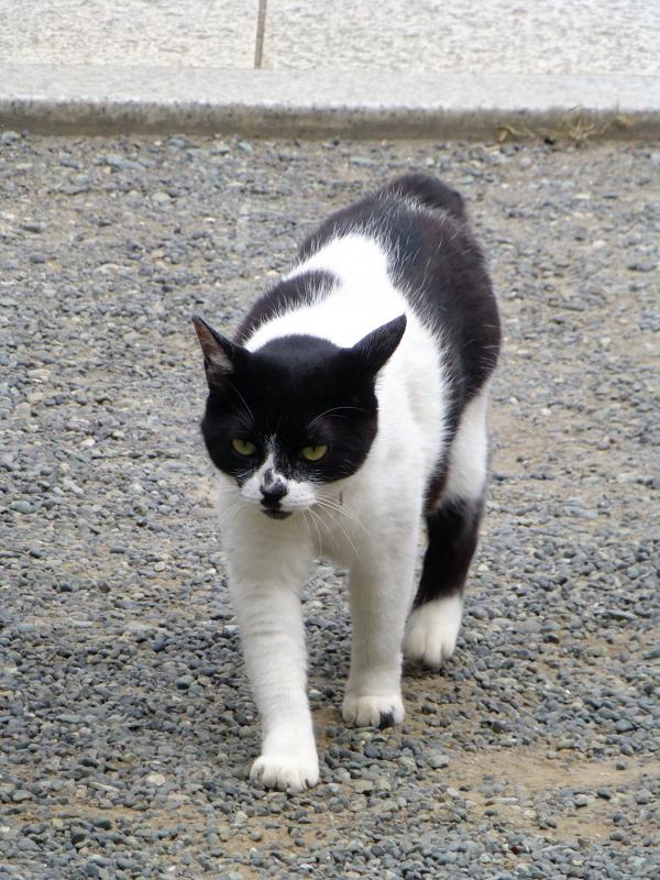 歩み寄る白黒猫