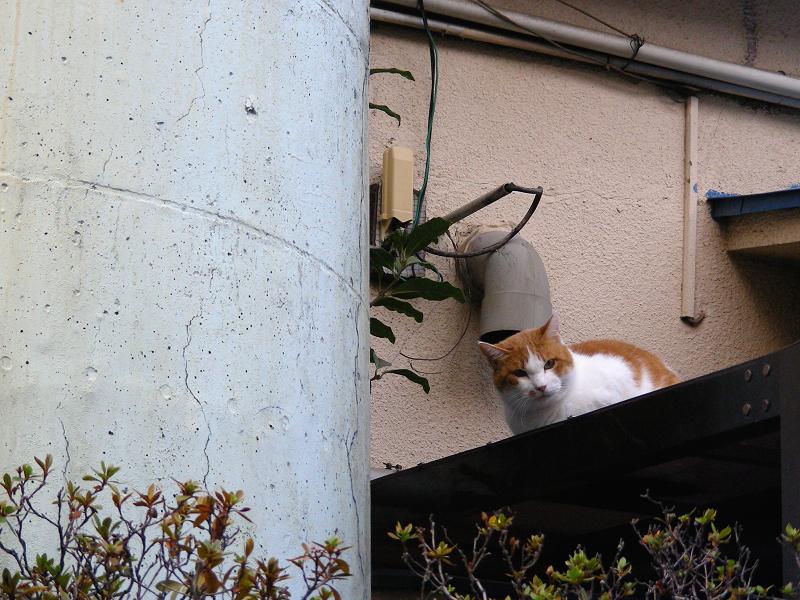 屋根から覗き込む茶白猫1