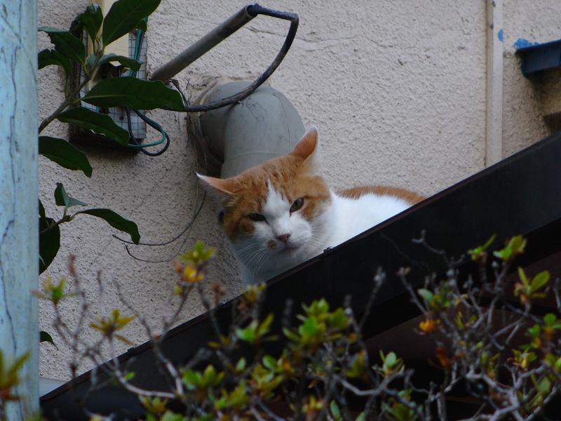 屋根から覗き込む茶白猫2