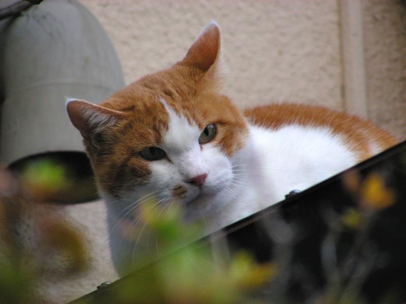 屋根から覗き込む茶白猫3